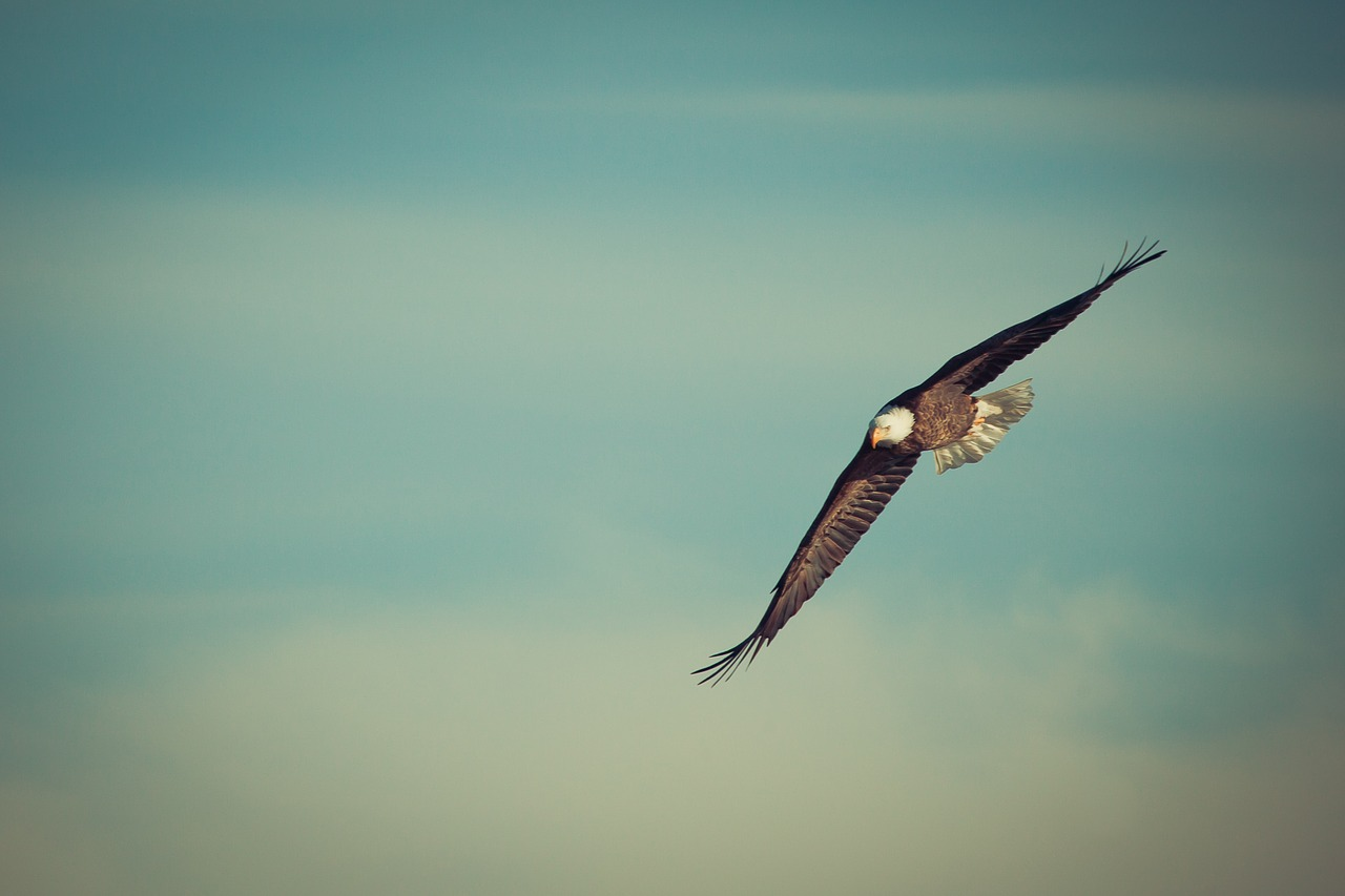 eagle, eagle flying, soar